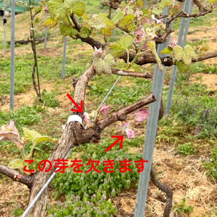 葡萄芽欠き(ワイン用)